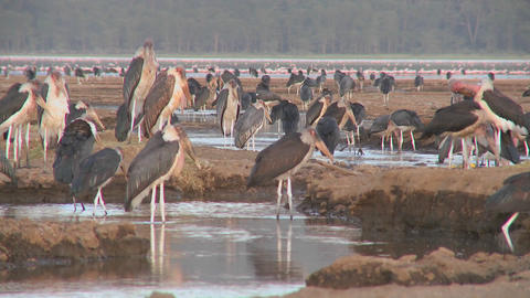Ancient birds visit a watering hole in Nakuru national... Stock Video Footage