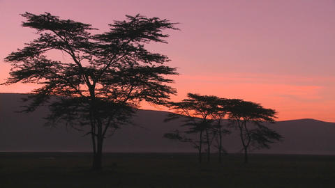 Beautiful acacia trees at dawn on the African savannah Stock Video Footage