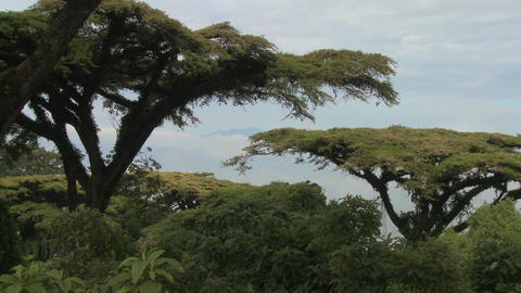 Acacia trees grow on the slopes of Nrorongoro Crater in... Stock Video Footage