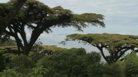 Acacia trees grow on the slopes of Nrorongoro Crater in Tanzania Footage