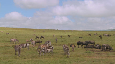 Wildebeest and zebras graze on the vast open plains of... Stock Video Footage