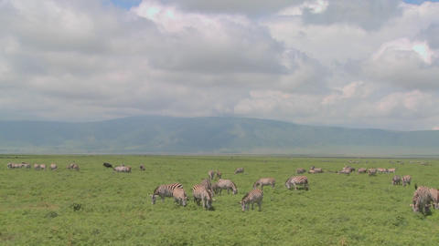 A slow pan across the open savannah of Africa with zebras... Stock Video Footage
