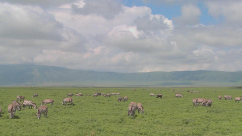 A slow pan across the open savannah of Africa with zebras and wildebeest grazing Footage
