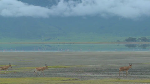 Eland antelopes walk near a lake on the plains of Africa Footage