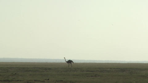 An ostrich walks in the distance across the plains of Africa Footage