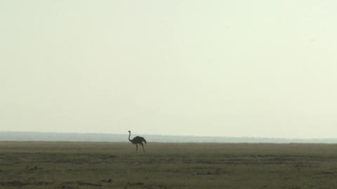 An ostrich walks in the distance across the plains of Africa Stock Video Footage