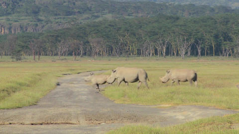 Three rhinos cross a road Footage