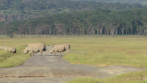 Three rhinos cross a road Stock Video Footage