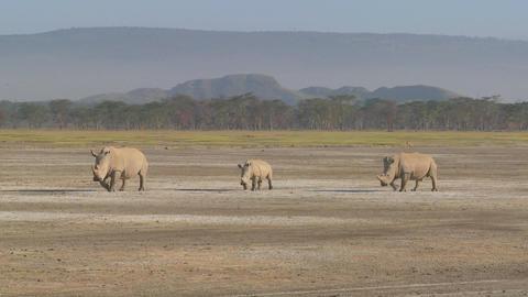 Three rhinos on a muddy plain Stock Video Footage
