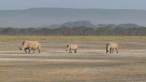 Three rhinos on a muddy plain Footage