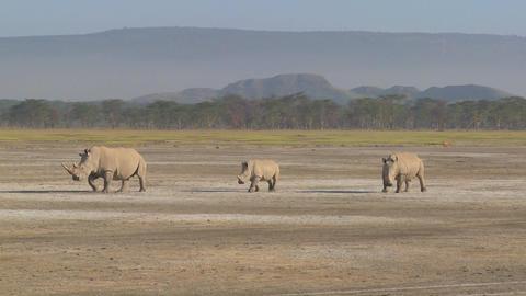 Three rhinos on a muddy plain Footage