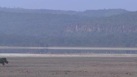 Rhinos cross a muddy plain Stock Video Footage