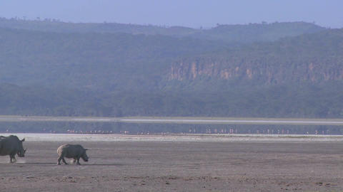 Rhinos cross a muddy plain Stock Video Footage