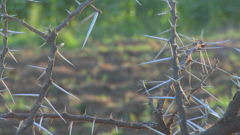 Close up of the spiky branches of an African thorny bush Stock Video Footage