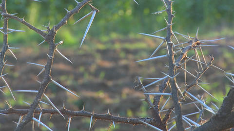 Close up of the spiky branches of an African thorny bush Footage