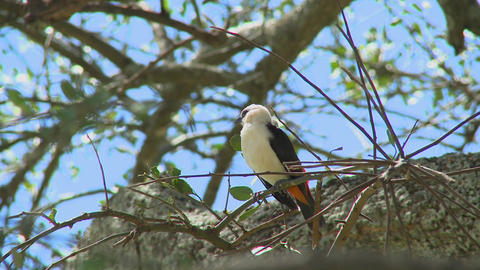 A white headed weaver sits in a tree in Africa Footage