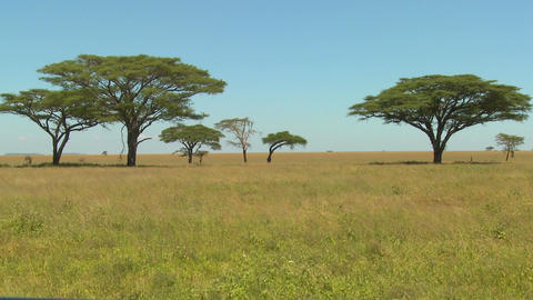 Beautiful acacia trees grown on the African savannah Stock Video Footage