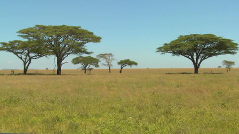 Beautiful acacia trees grown on the African savannah Footage