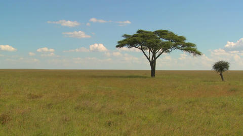 A lonely tree on the Serengeti plain Stock Video Footage