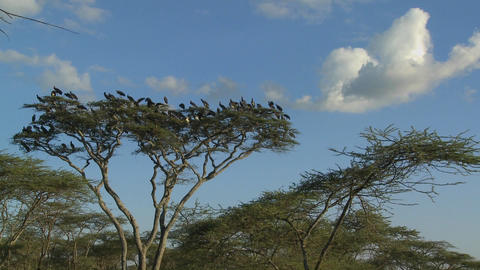 Birds burst from a tree and fly in all directions on the... Stock Video Footage