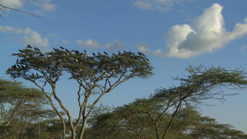 Birds burst from a tree and fly in all directions on the African plain Footage