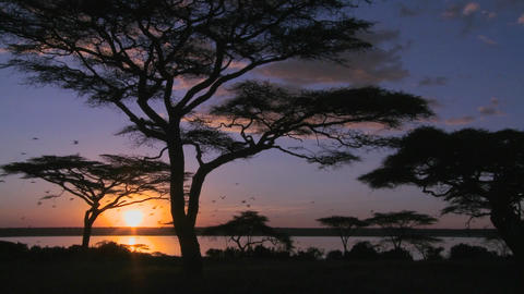 Gorgeous and majestic shot of sunrise on the African plains with acacia trees foreground Footage