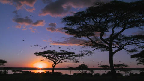 Birds fly at sunset near acacia trees on the savannah of Africa Footage