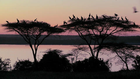 Birds sit in an acacia tree at sunset in Africa Footage