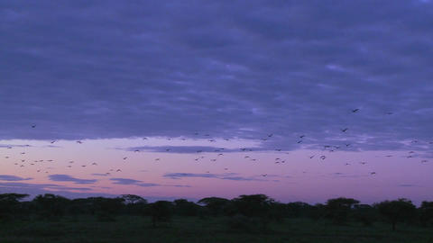 Birds migrate across a purple sky Footage