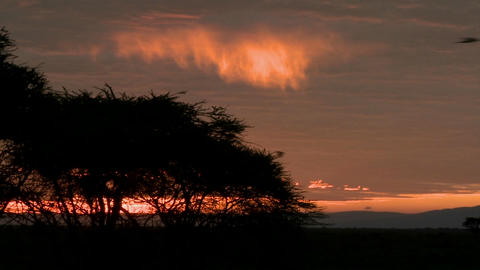 Birds fly against a red orange sky at dawn on the plains of Africa Footage
