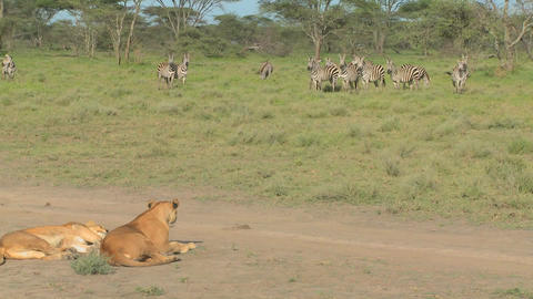 A female lioness watches a group of zebras intently Footage