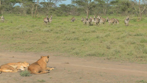 A female lioness watches a group of zebras intently Stock Video Footage