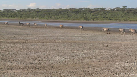 Zebras migrate across a dry parched region of East Africa Footage