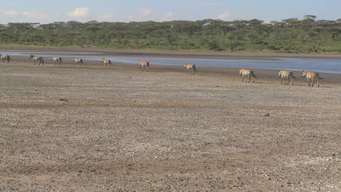 Zebras migrate across a dry parched region of East Africa Stock Video Footage