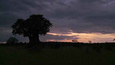 A beautiful timelapse of baobab trees in Tarangire park, Tanzania Footage