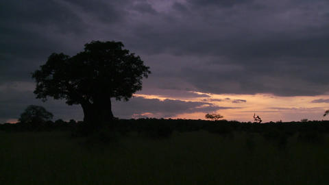 A beautiful timelapse of baobab trees in Tarangire park,... Stock Video Footage