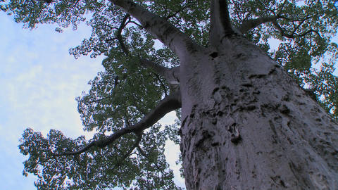 A low angle looking up into a majestic baobab tree in... Stock Video Footage