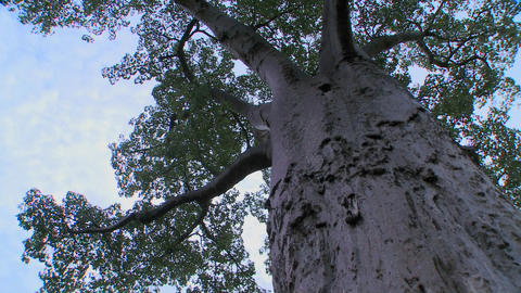 A low angle looking up into a majestic baobab tree in Tarangire National park, Tanzania Footage