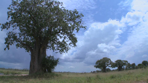 Beautiful time lapse shots of clouds moving behind majestic baobab tree in Tarangire, Tanzania Footage