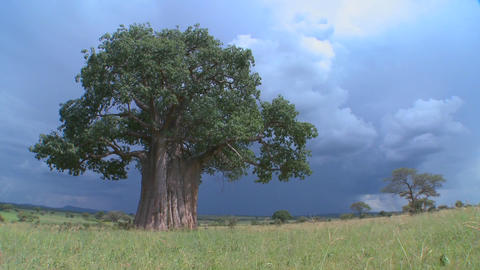 A baobab tree in Tarangire Park against a threatening sky Footage