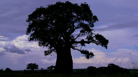 Amazing time lapse shot of clouds against a silhouetted baobab tree on the African plain Footage