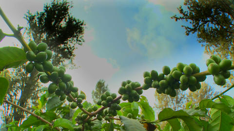 Time lapse of coffee beans growing on a coffee plantation in the tropics Footage