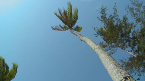 A low angle view looking straight up at a palm tree blowing in the wind Footage