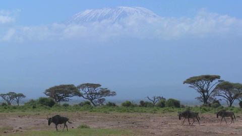Wildebeest walk in front of Mt. Kilimanjaro in Amboceli... Stock Video Footage
