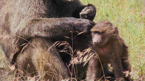 A mother baboon picks fleas and ticks off of her baby during this grooming ritual Footage