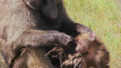 A mother baboon picks fleas and ticks off of her baby... Stock Video Footage
