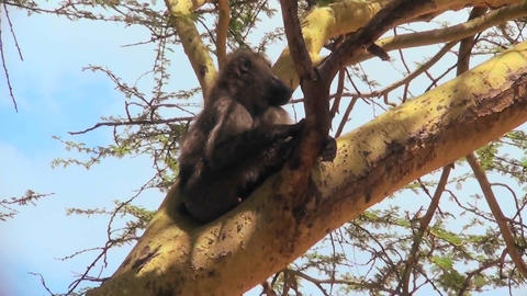 An adult baboon rests in a tree and scratches his head Stock Video Footage
