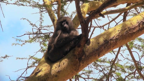 An adult baboon rests in a tree and scratches his head Footage