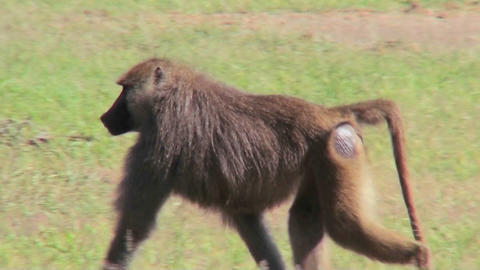 A baboon walks through the grass in Africa Stock Video Footage