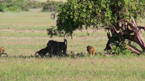 Baboons play under a tree on the African savannah Stock Video Footage